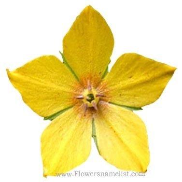 lysimachia pollen vulgaris