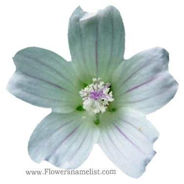 mallow white flower