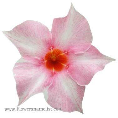 mandevilla Cream Pink