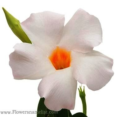 mandevilla white flowers