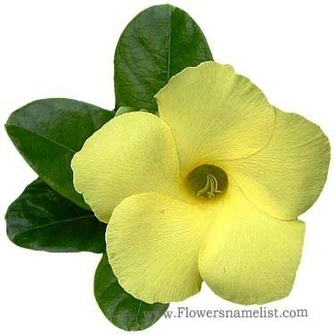 mandevilla yellow