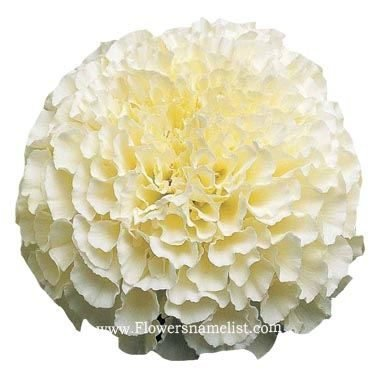 marigold african white