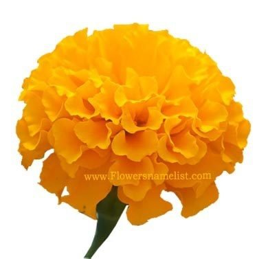 marigold yellow flower