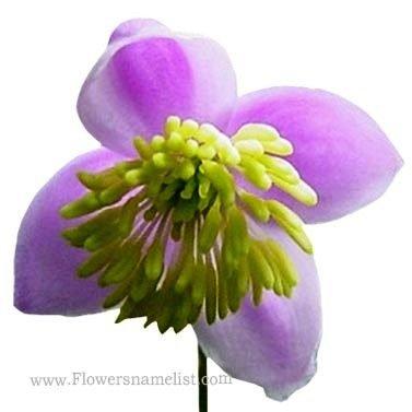 meadow rue flower