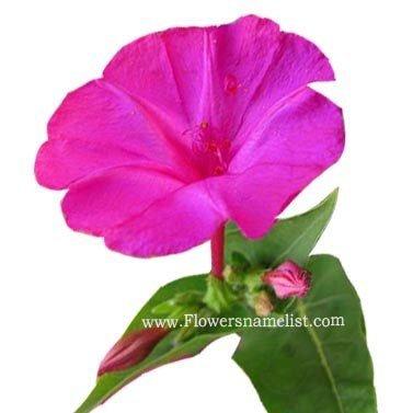mirabilis jalapa pink