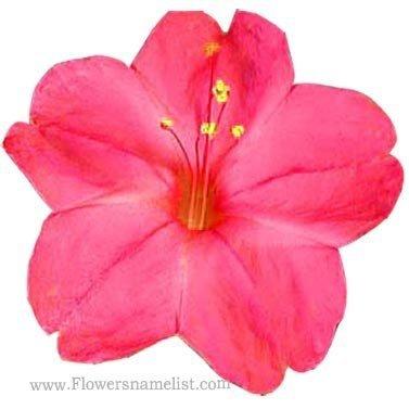 mirabilis jalapa red flower