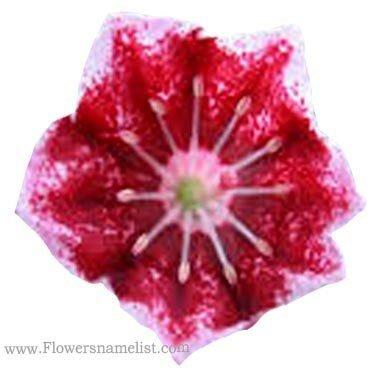 mountain laurel red flower
