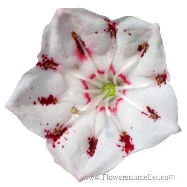 mountain laurel white flower