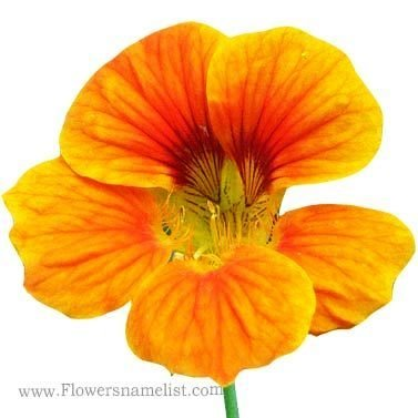 nasturtium orange flower