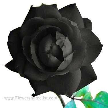 natural black rose