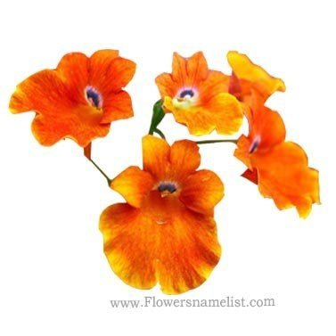 nemesia strumosa orange flowers