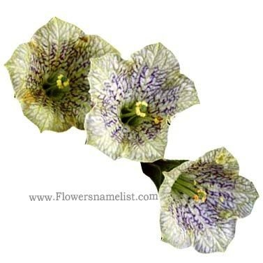 nierembergia patagonica