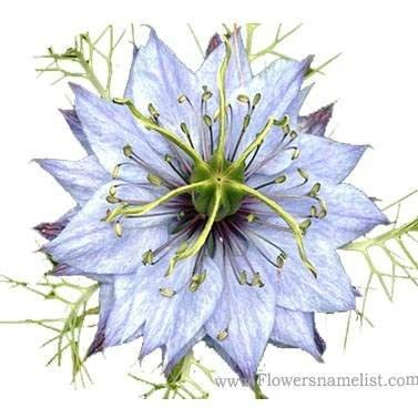 nigella blue flower