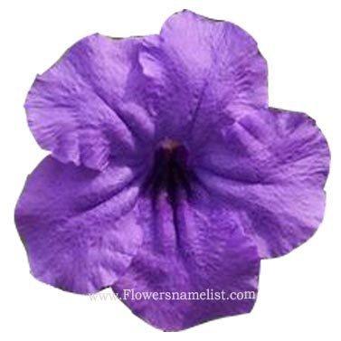 oleander Purple Nerium