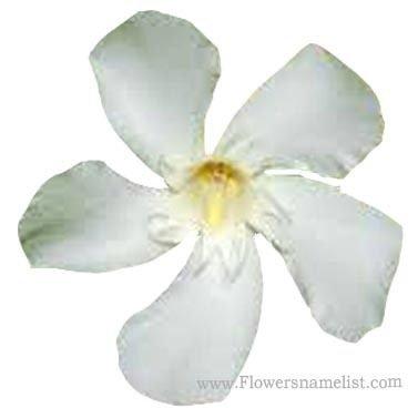 oleander white Nerium