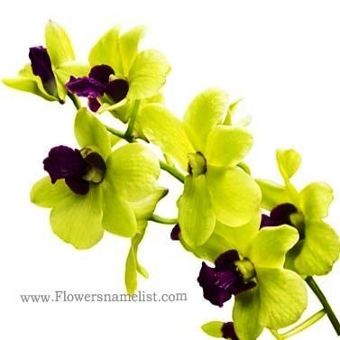 orchid Bright Green
