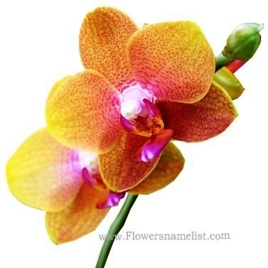 orchid pink yellow rona black