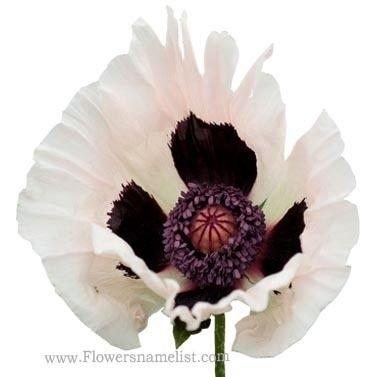 oriental poppy white