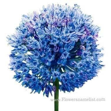 ornamental onion blue