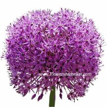 ornamental onion flowers