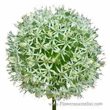 ornamental onion white
