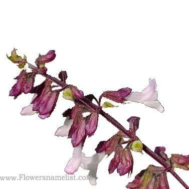 orthosiphon rubicundus