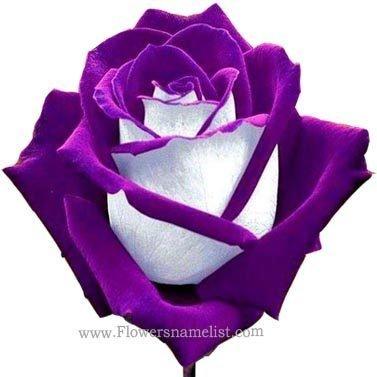 osiria purple rose