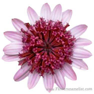 osteospermum 3d berry white