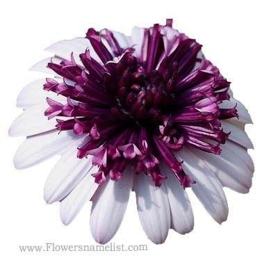 osteospernmum berry white purple