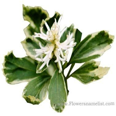 pachysandra variegated