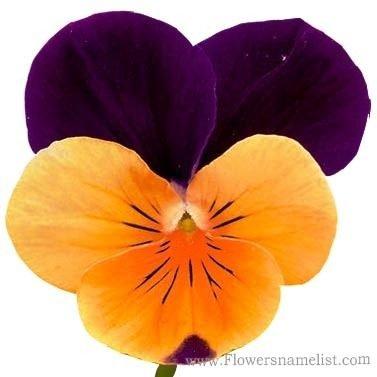 pansies Viola tricolor