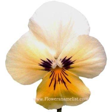 pansies white