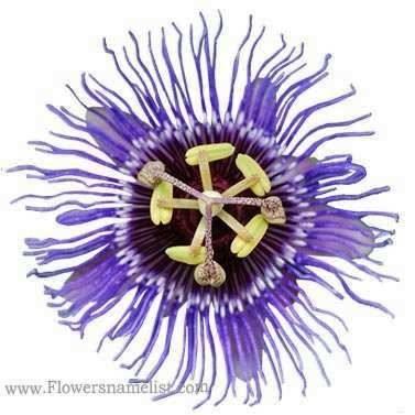 passiflora purple haze passion flower