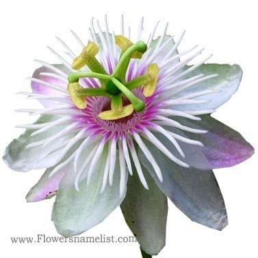 passiflore foetida passion flower