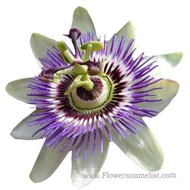 passion blue flower, Passiflora incarnata
