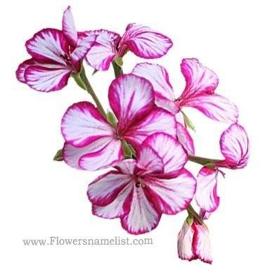 pelargonium peltatum white pink