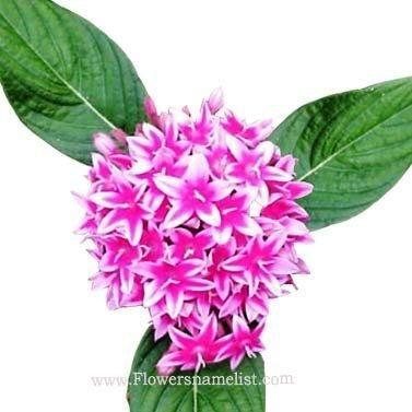 penta lanceolata pink