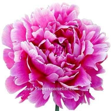 peony Even herbacous flower