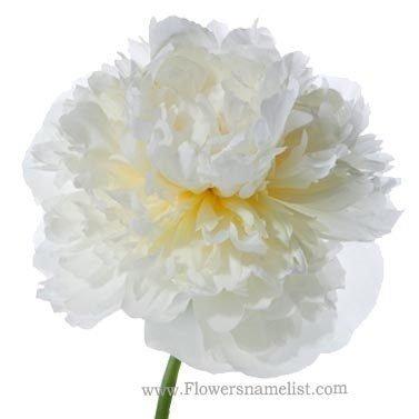 peony white flower