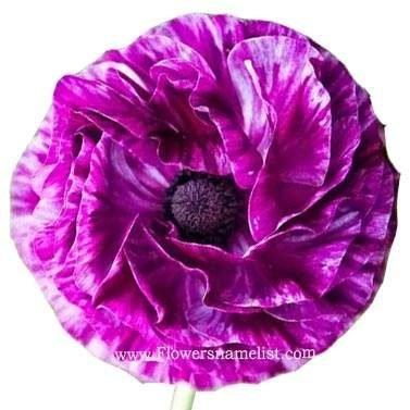 persian buttercup Ranunculus Flowers