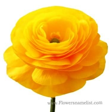 persian buttercup yellow
