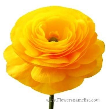 persian buttercup yellow