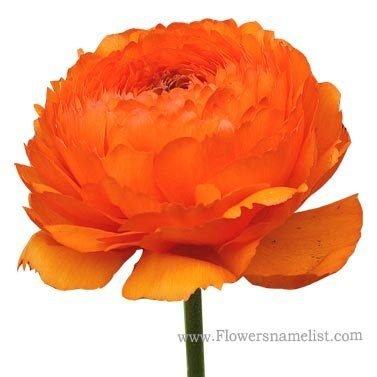 persion buttercup Ranunculus Orange