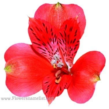 peruvian lily red