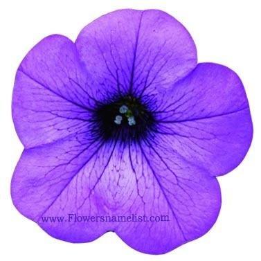 petunia sanguna lavendervein