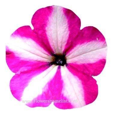 petunia x hybrida flower