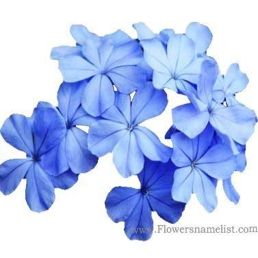 phlox blue