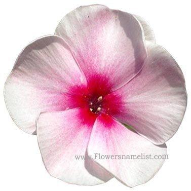 phlox violet flower