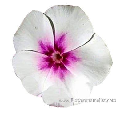 phlox white purple