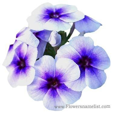 phlox white with blue